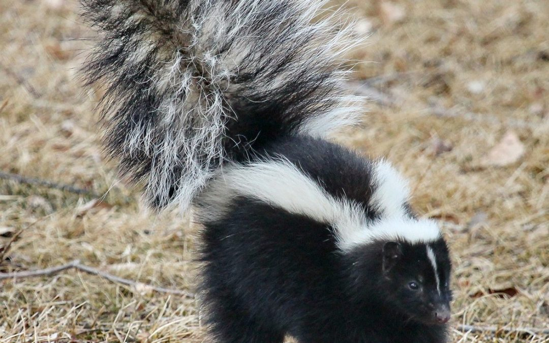 What meeting the skunk taught me